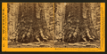 Section of the Grizzly Giant, 33 ft diameter, Mariposa Grove, Mariposa County, Cal, by Watkins, Carleton E., 1829-1916.png