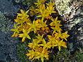 Sedum lanceolatum Upper Ruby River Montana 03.JPG