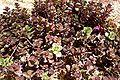 Sedum spurium Bronze Carpet.jpg