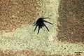 Segestria florentina No. 5 (FG) (32923254673).jpg