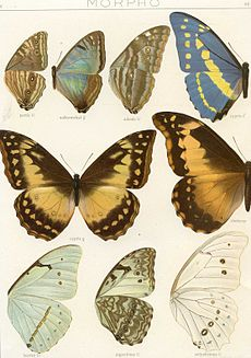 Morpho epistrophus - Wikipedia
