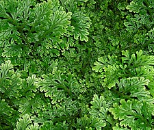 Selaginella-sp.jpg