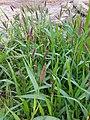 Setaria viridis (15447781336).jpg