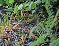 Setophaga pensylvanica Reinita de Pensilvania Chestnut-sided Warbler (15391346499).jpg
