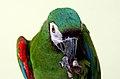 Severe Macaw (9158328878).jpg