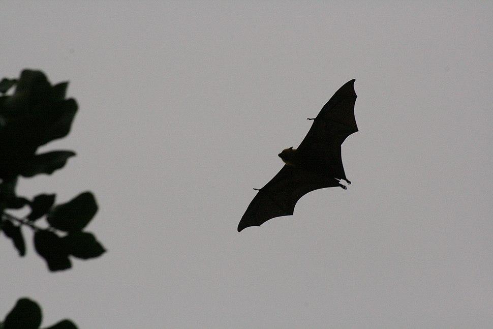 Seychelles Fruit Bat - Pteropus seychellensis