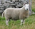 Shearling Cheviot ram.jpg