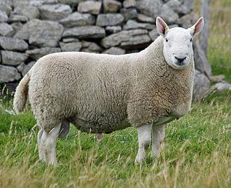 Shearling - Image: Shearling Cheviot ram