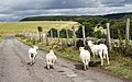 Sheep in Wales 2.jpg