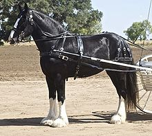 A tall black horse with four white legs, standing in harness, with shafts of a cart visible
