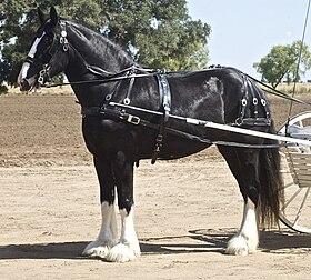 cheval de trait english
