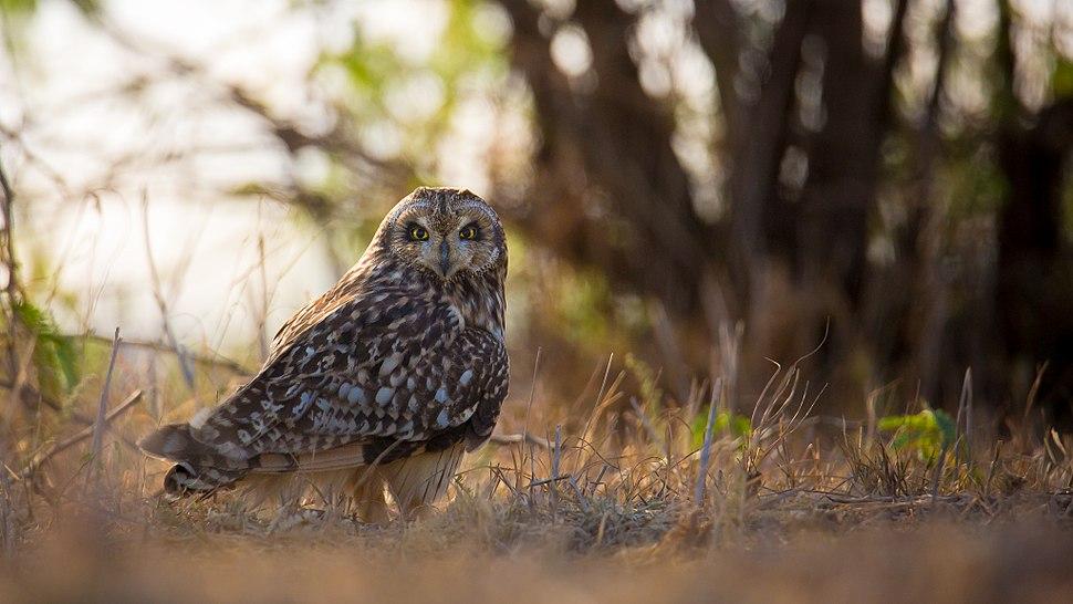 Short Eared Owl in its habitat