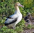 Short tailed Albatross1.jpg