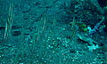 Shrimpfishes (Aeoliscus strigatus) (8458445762).jpg
