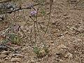 Shy gilia, Gilia inconspicua (16492526120).jpg