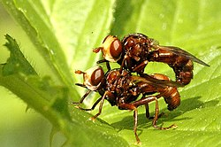 Sicus.ferrugineus.couple.jpg
