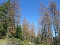 Sierra National Forest, Tree mortality (38921000751).jpg