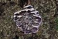 Silver Leaf - Chondrostereum purpureum (39158764124).jpg