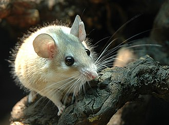 Myomorpha - Acomys cahirinus