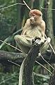 Singapore Zoo Proboscis Monkey-1 (6605007821).jpg