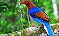 Sinharaja rainforest famous bird.jpg