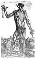 Sixth muscle man, by Vesalius. Wellcome L0001649.jpg