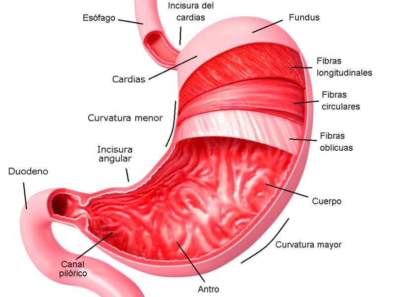 Estómago - eAnswers