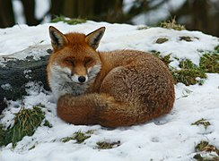 Sleepy Fox.jpg