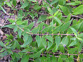 Slender Duetzia Duetzia gracilis 'Nikko' Plant 3264px.jpg