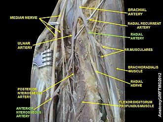Anterior interosseous artery - Image: Slide 8PPPP