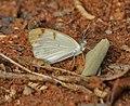 Small Orange-Tip , Colotis etrida at Chilkur near Hyderabad, AP W IMG 7287.jpg