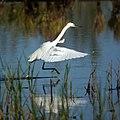 Snowy Egret (5005070715).jpg