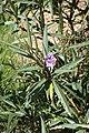 Solanum aviculare kz2.jpg