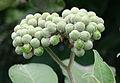 Solanum mauritianum01.jpg