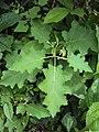 Solanum violaceum 30.JPG