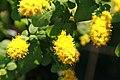 Solidago sphacelata Golden Fleece 9zz.jpg