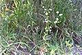 Sommarbinka (Erigeron annuus)-3071 - Flickr - Ragnhild & Neil Crawford.jpg