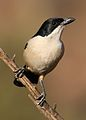Southern Boubou, Laniarius ferrugineus, at Walter Sisulu National Botanical Garden, Gauteng, South Africa (29406216452).jpg