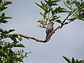 Sparrow (19967507310).jpg