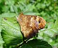 Speckled Wood.. Pararge aegeria. u-s - Flickr - gailhampshire.jpg