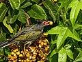 Sphecotheres vieilloti -Queensland, Australia-8 (1).jpg
