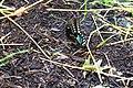 Spicebush swallowtail (35503080044).jpg