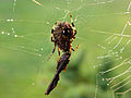 Spider-web-insect - West Virginia - ForestWander.jpg