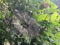 Spiderweb from Kerala 02.jpg
