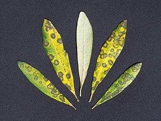 <i>Spilocaea oleaginea</i> Species of fungus