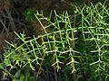 Spine bush - Flickr - pellaea (1).jpg