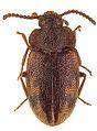 Spinolyprops himalayicus - ZooKeys-243-083-g002-4.jpeg