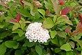Spiraea japonica kz2.jpg