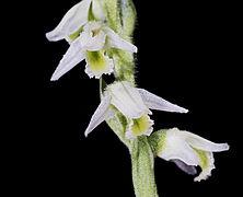 Spiranthes spiralis MHNT Fleurs.jpg