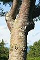 Spondias purpurea 14zz.jpg
